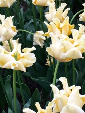 """The Viennese ambassador to Turkey was the first to bring the tulip into Western Europe. He gave specimens to Carolus Clusius, the Flemish botanist who created the Leiden Botanical Garden. Clusius set the stage for Dutch tulip bulb cultivation and breeding. This particularly buttery beauty is a Triumph tulip appropriately christened """"Yellow Crown"""" for its unusually torqued petals."""
