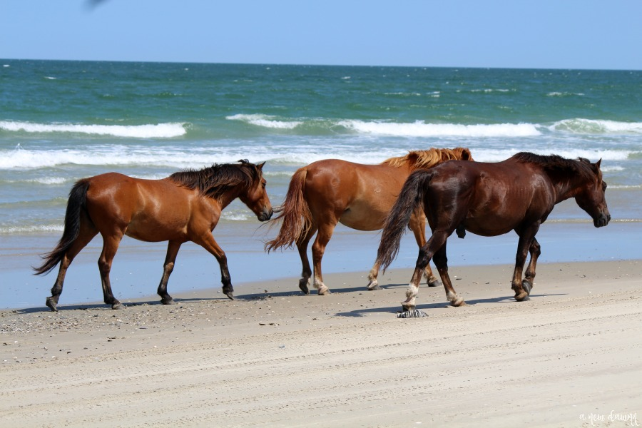Wild Horses walking the beach in Corolla, NC
