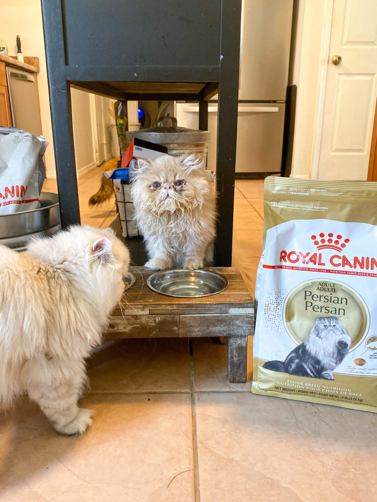 Persian kitten by bag of royal canon cat food