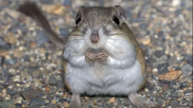 the amazing kangaroo rat