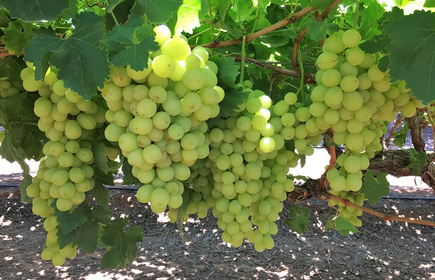 Prime Seedless (Volcani 125) table grapes