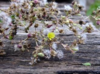 Botões de Flores e Sementes de alface ®SKLindemann
