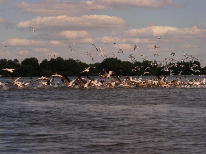 pelicani la pescuit