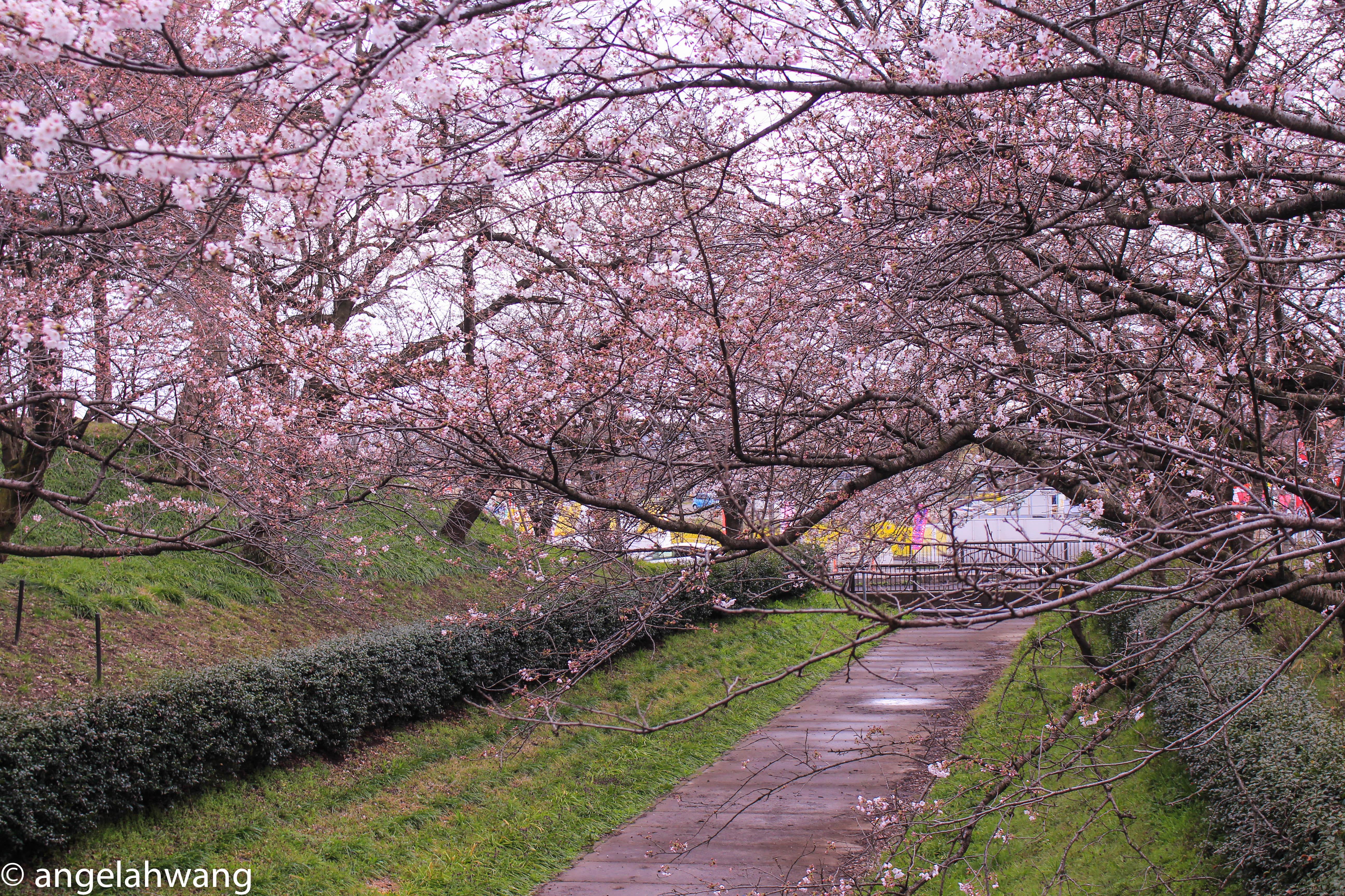 Satte Sakura Festival