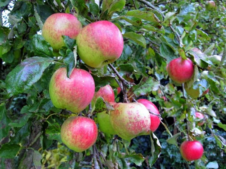 Æbler fra vores have