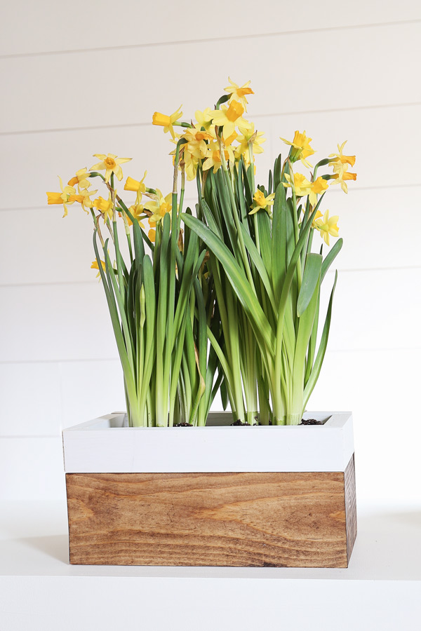 DIY spring planter box with daffodils