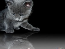 thumb3_russian_blue_kitten