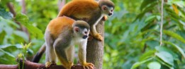 cropped-e284a2angelcraft-crown-geo-science-and-aerospace-foundation-ageo-costa-rica-rainforest-animals-new-world-monkeys-prehensal-tails.jpg