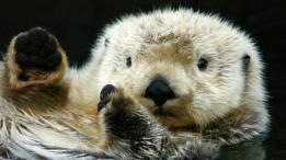 Sea otters have thick underfur that traps air to form an insulating layer against the chilly waters
