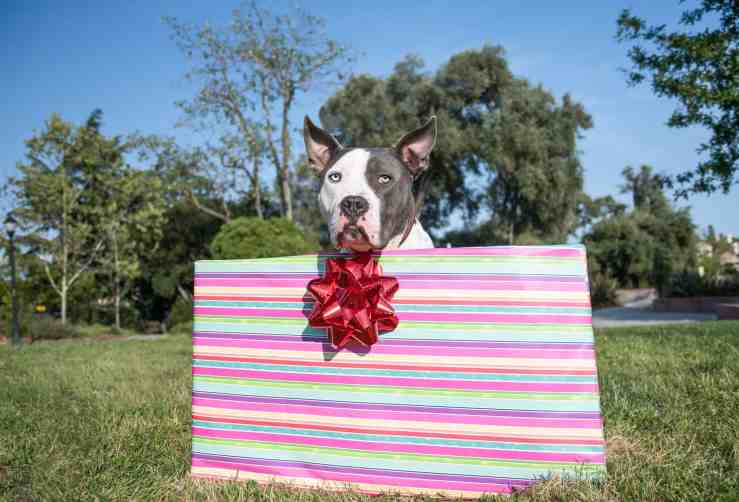 Pit Bull Dog in a Box