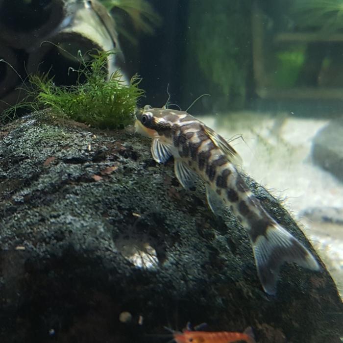zebra otocat otocinclus cocama