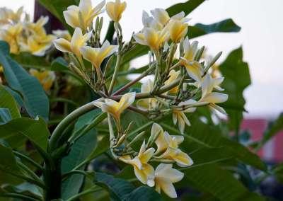 Jepun flowers Angel House Ubud