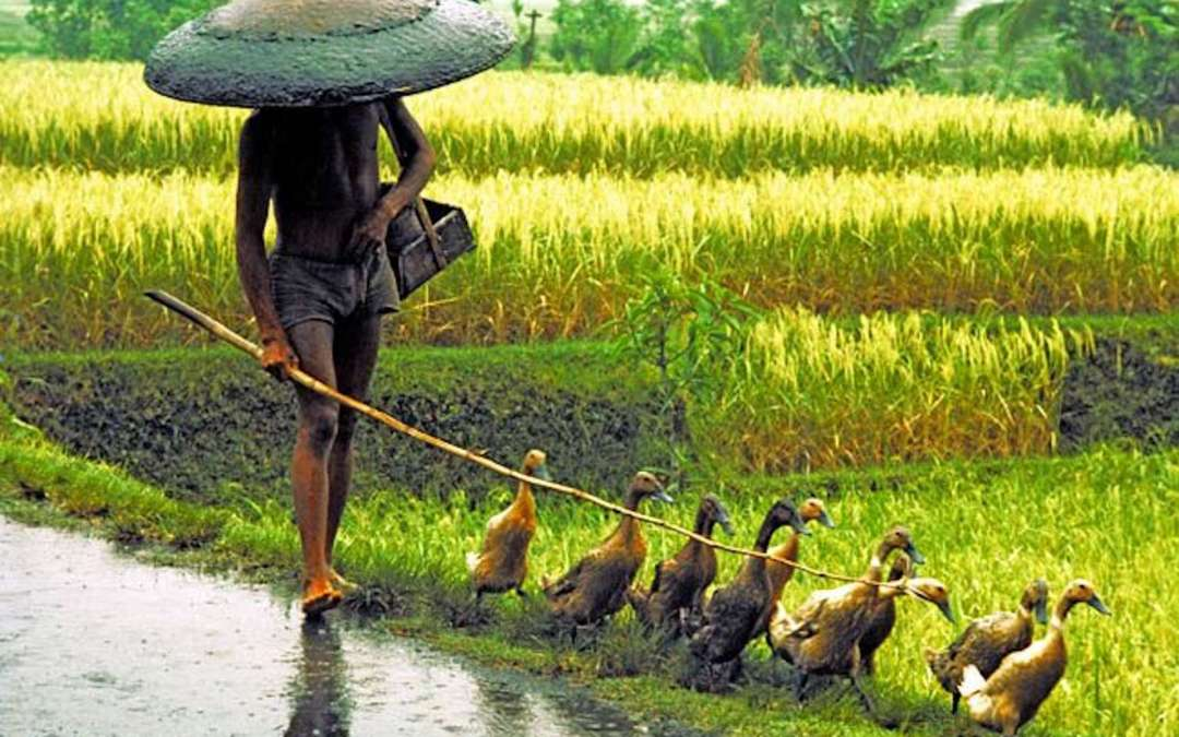 Walking in the rice fields.