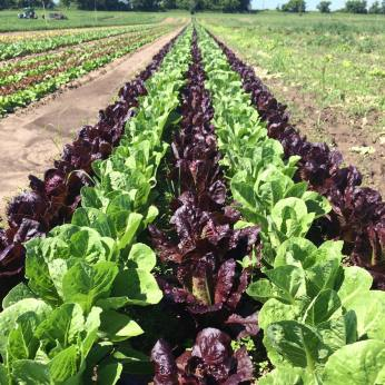 Romaine lettuce for this week's box