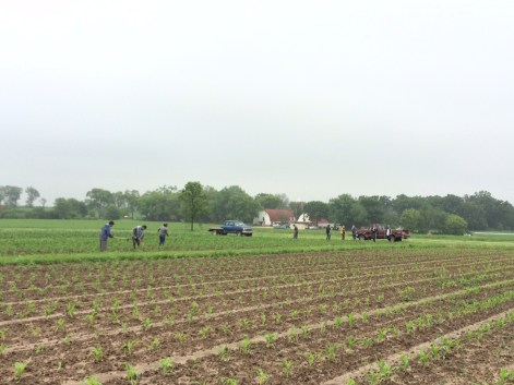 hoeing the sweet corn—you will have corn in about another 5 weeks (the field in the foreground will be ready in about 7 weeks)