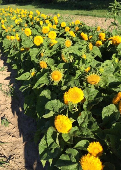 Sunflowers Cheerfully Await You in our U-Pick Garden