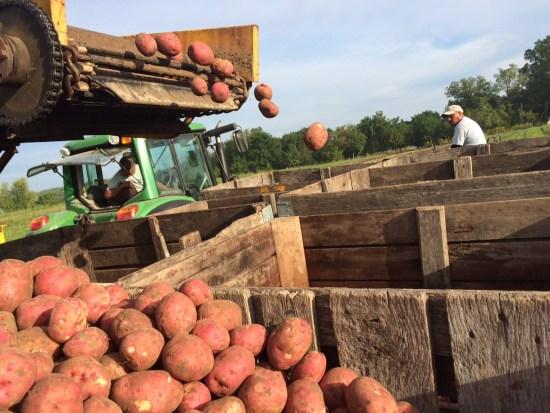 Potatoes Meet the Sky after a Long Season Underground