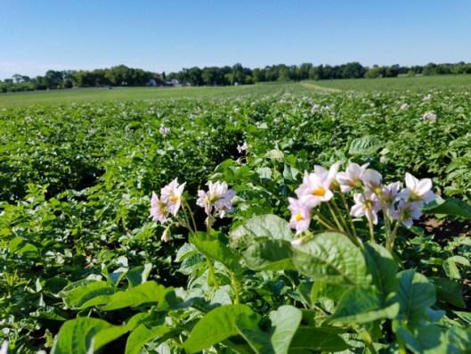 Potatoes in bloom