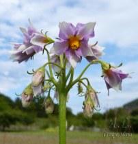 flor de la patata