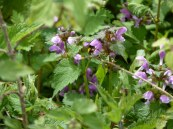 abeja en flores de ortigas