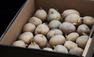 Afbeeldingsresultaat voor pootaardappelen