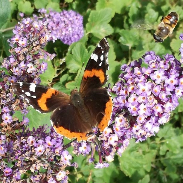 red admiral butterfly and sunfly