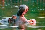 Yawning-hippo
