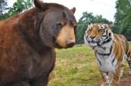 Shere Khan and Baloo