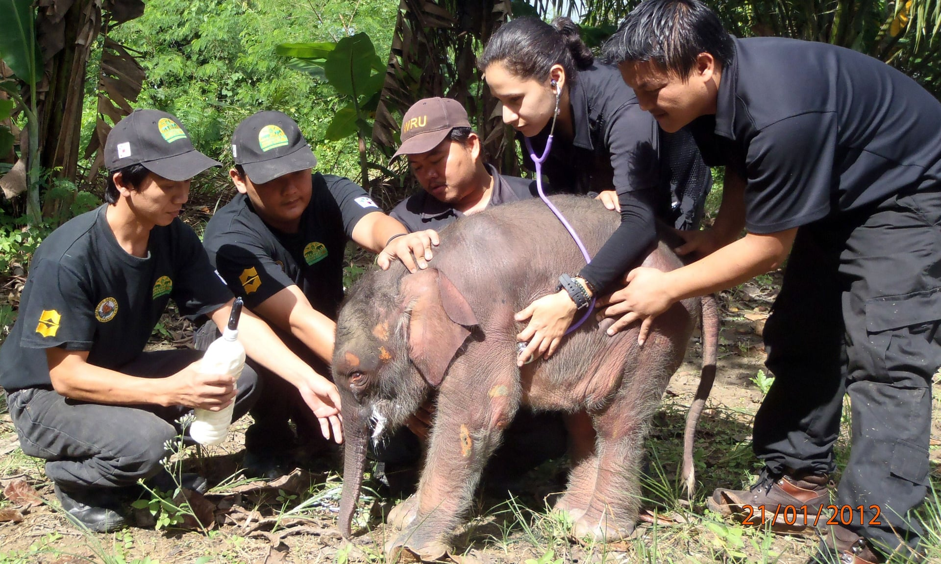 World's smallest elephants killed for ivory in Borneo | Environment | The Guardian