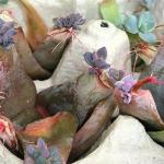 Succulent Leaf Propagation Angel S Grove