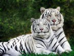 white-tigers-wallpaper-400x300