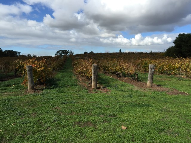 The Freedom Vineyard at Langmeil