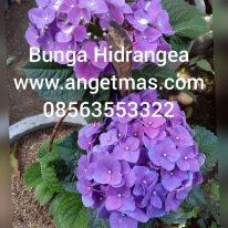Tanaman bunga hidrangea