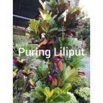 puring liliput