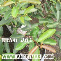 Jual bibit tanaman buah juwet putih