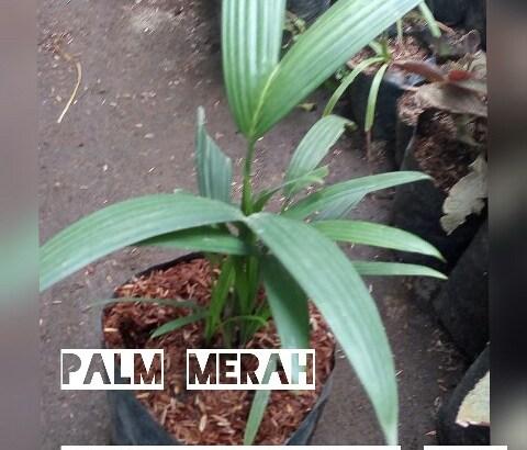 Jual bibit tanaman palm merah
