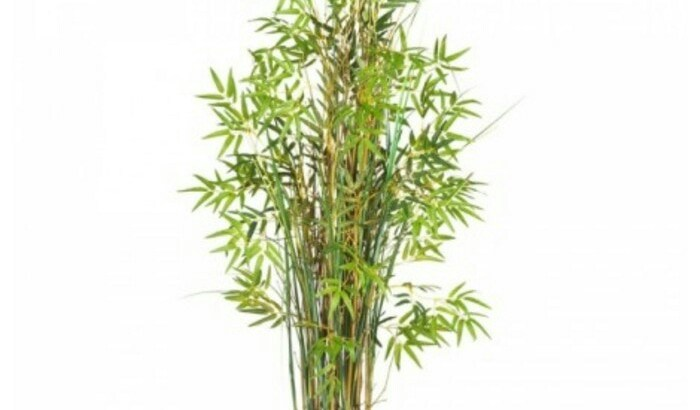 Jual tanaman bambu kuning mini