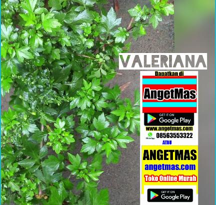 Tanaman valeriana atau tumbuhan valeriana