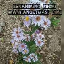 bunga senandung rindu