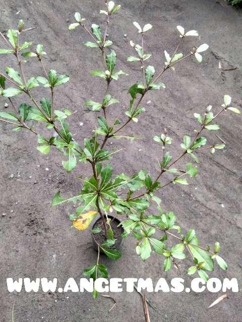 tanaman ketapang cina