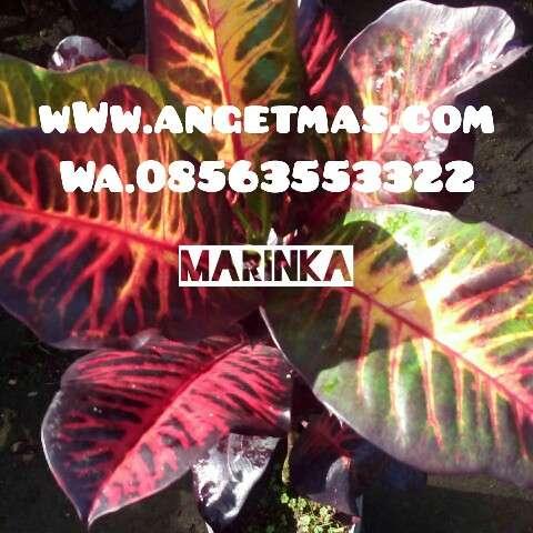 jual tanaman puring marinka