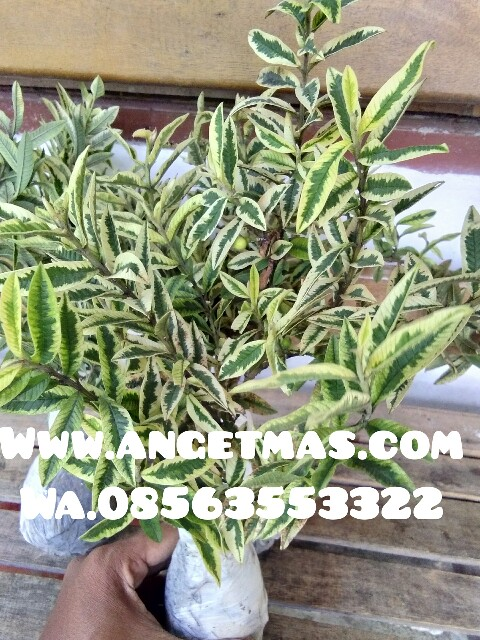 tanaman jamb kerikil varigata