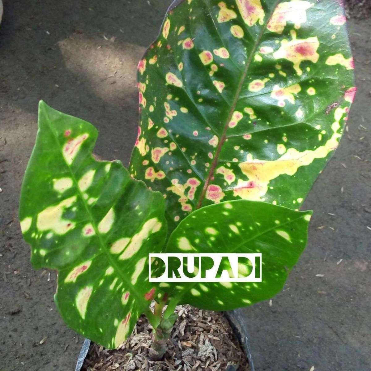 tumbuhan pring drupadi
