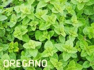 bibit tanaman oregano