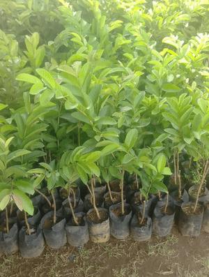 jual tanaman jambu getas merah