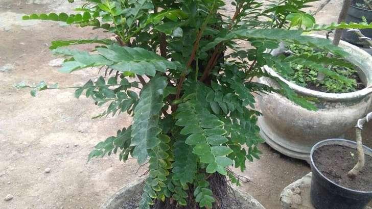 Jual tanaman remok polo bonsai