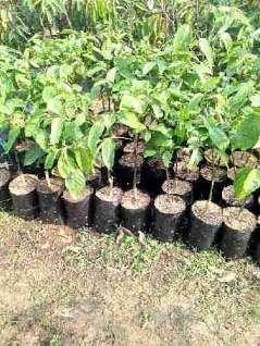 manfaat tanaman bunga kenanga