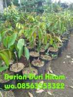 Jual tanaman buah durian duri hitam