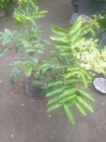 Jual bibit tanaman kelengkeng aroma durian