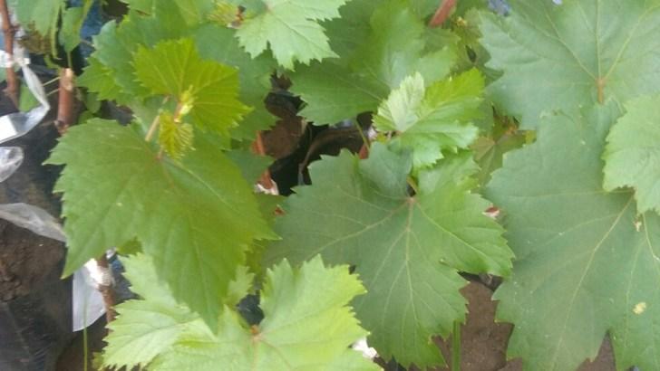 Jual tanaman buah Anggur Red prince